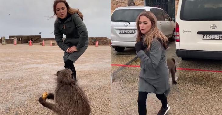 Ce singe sud-africain ne semble pas beaucoup aimer Julie Snyder...